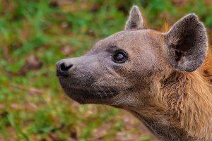 Hyäne, Krüger-Nationalpark - JELOZI
