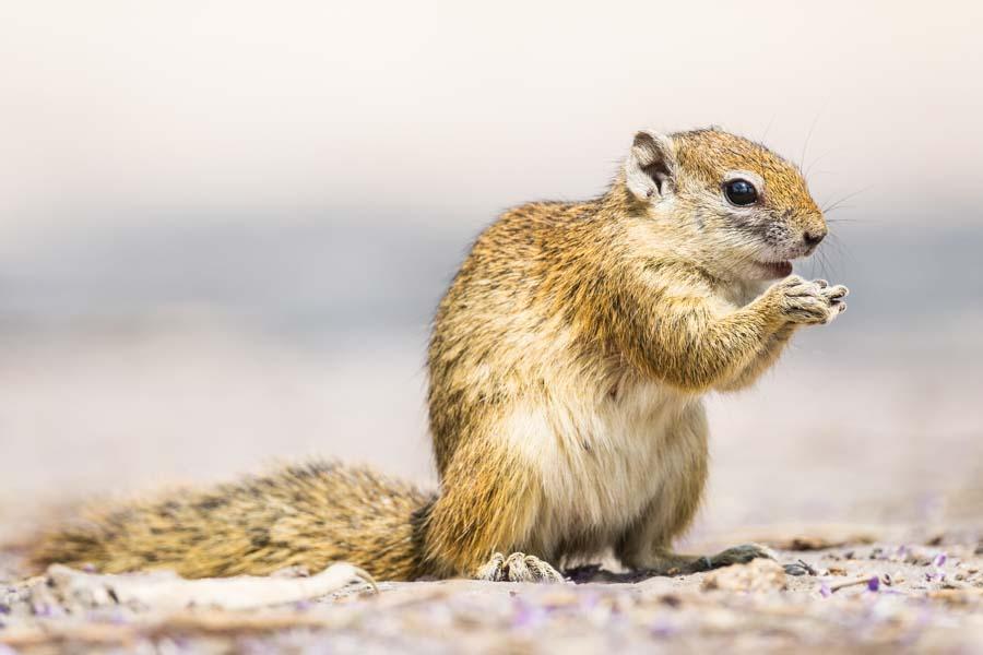 Buschhörnchen, Botswana - JELOZI