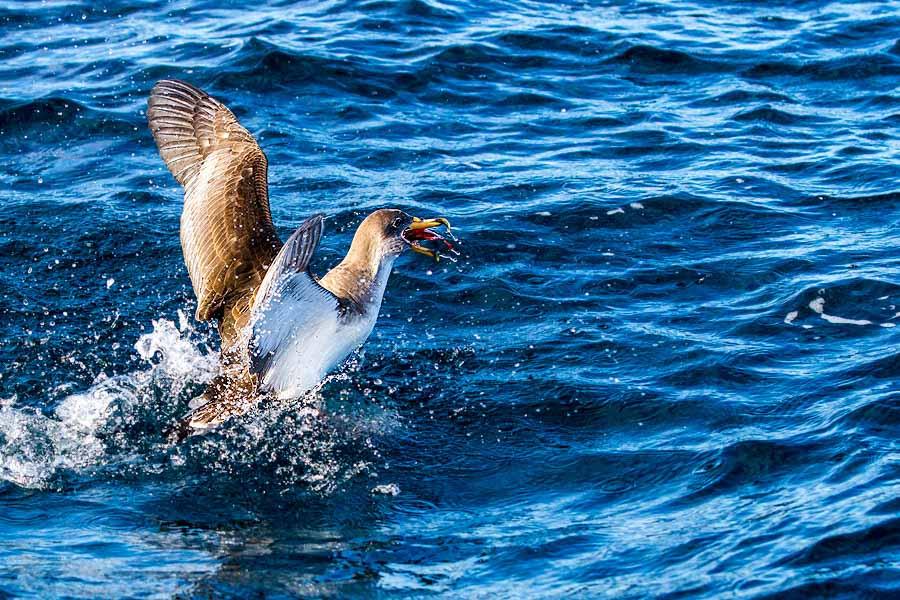 Gelbschnabel-Sturmtaucher mit Fisch, Azoren/Portugal - JELOZI