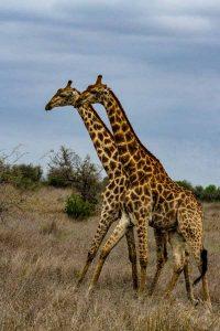Giraffendoppel, Krüger-Nationalpark - JELOZI