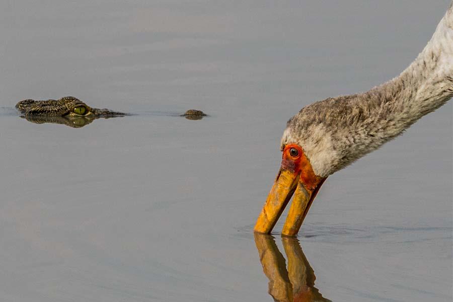 Krokodil und Nimmersatt, Botswana - JELOZI