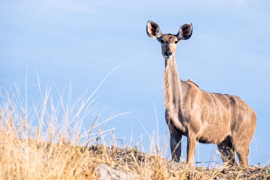 Kudu, Botswana - JELOZI