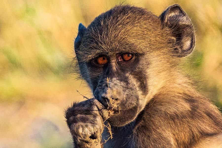 Pavian, Chobe Nationalpark - JELOZI