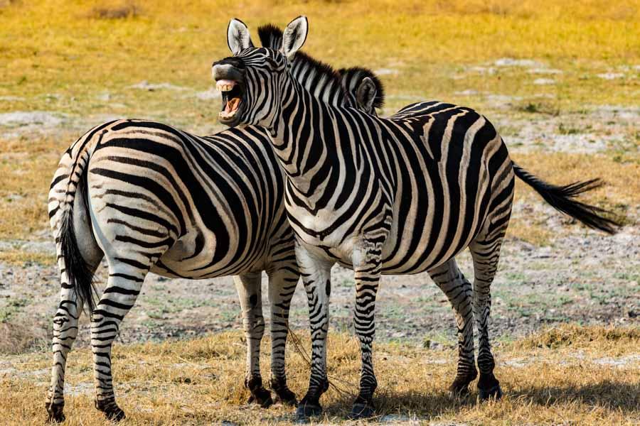 Zebras, Botswana - JELOZI