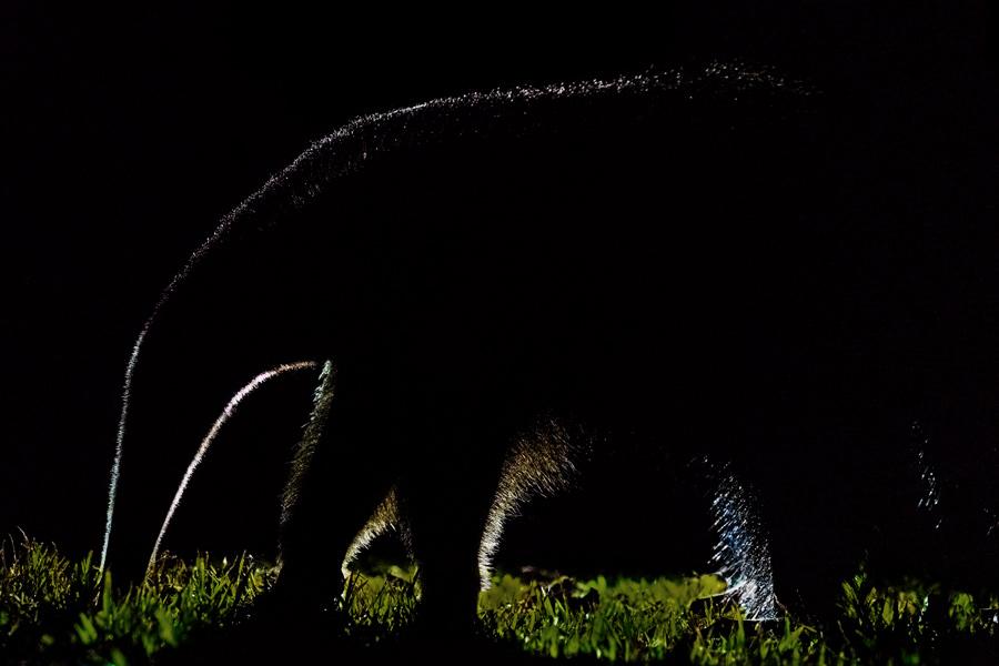Ameisenbär im Gegenlicht, Pantanal - JELOZI