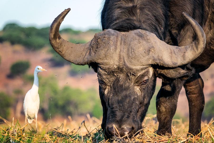 Büffel und Reiher, Chobe Nationalpark - JELOZI