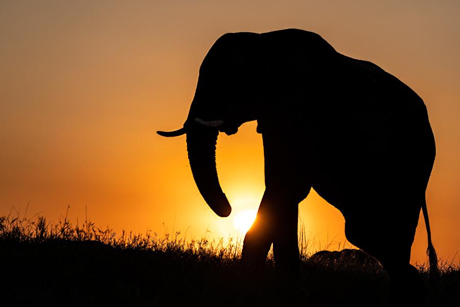 Elefant in Sonnenuntergang, Chobe Nationalpark - JELOZI