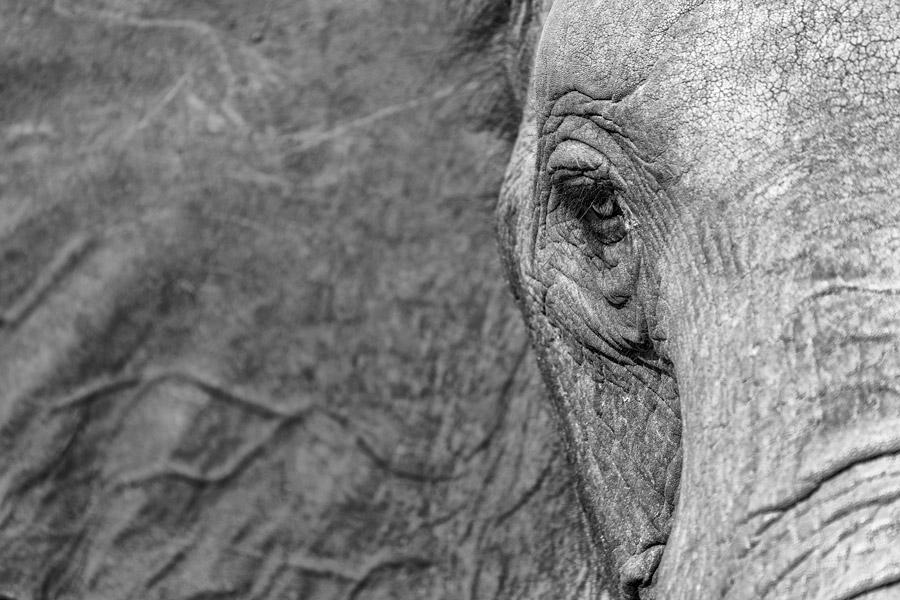 Elefantenblick in schwarzweiß, Hwange Nationalpark - JELOZI