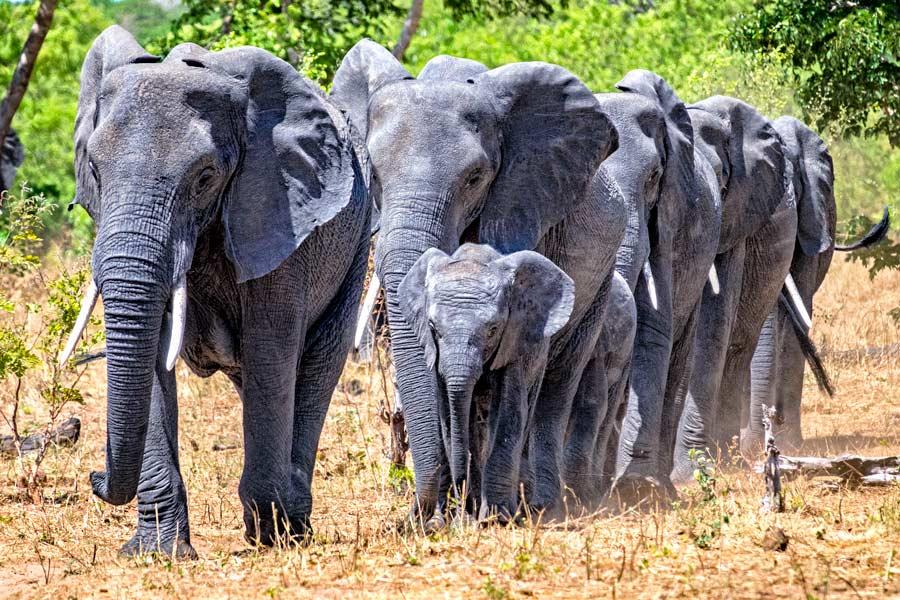 Elefanten in Reih` und Glied, Chobe Nationalpark - JELOZI