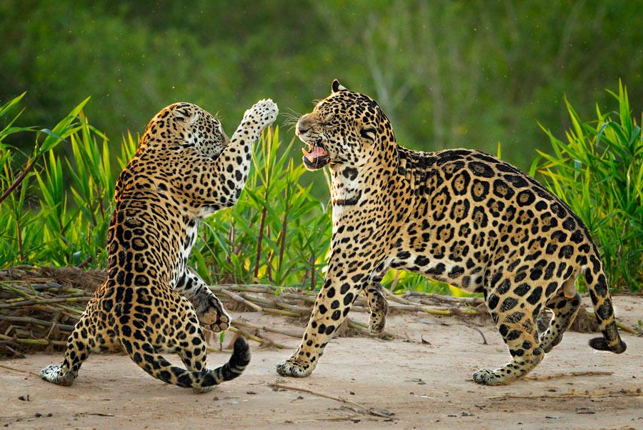 Jaguarpärchen kämpfend, Pantanal - JELOZI