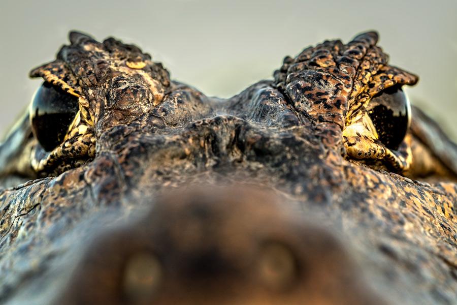 Krokodilaugen, Pantanal - JELOZI