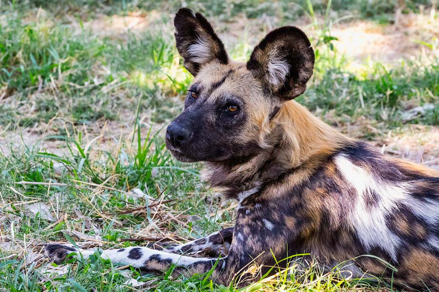 Wildhund liegend, Botswana - JELOZI