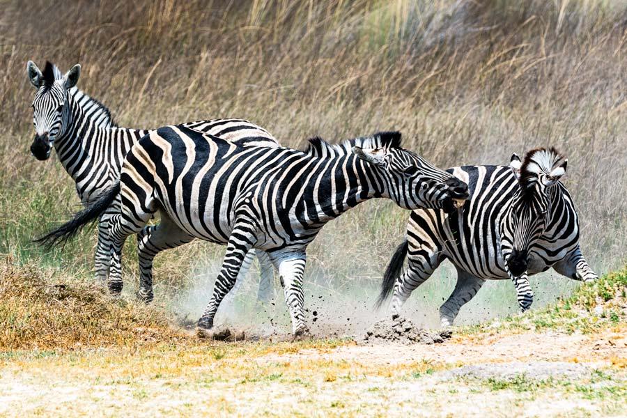 Zebratrio in Action, Botswana - JELOZI