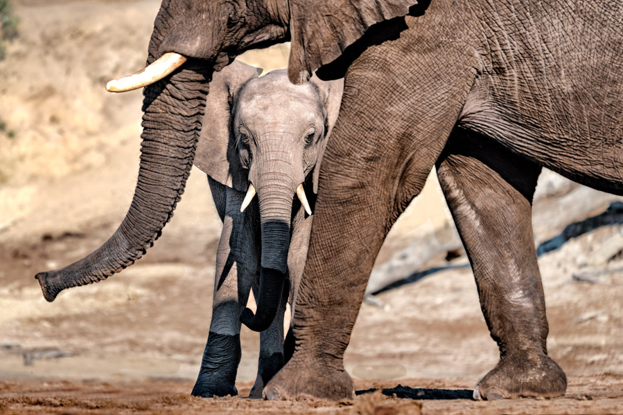 Elefantenbaby im tierischen Rahmen, Chobe Nationalpark - JELOZI