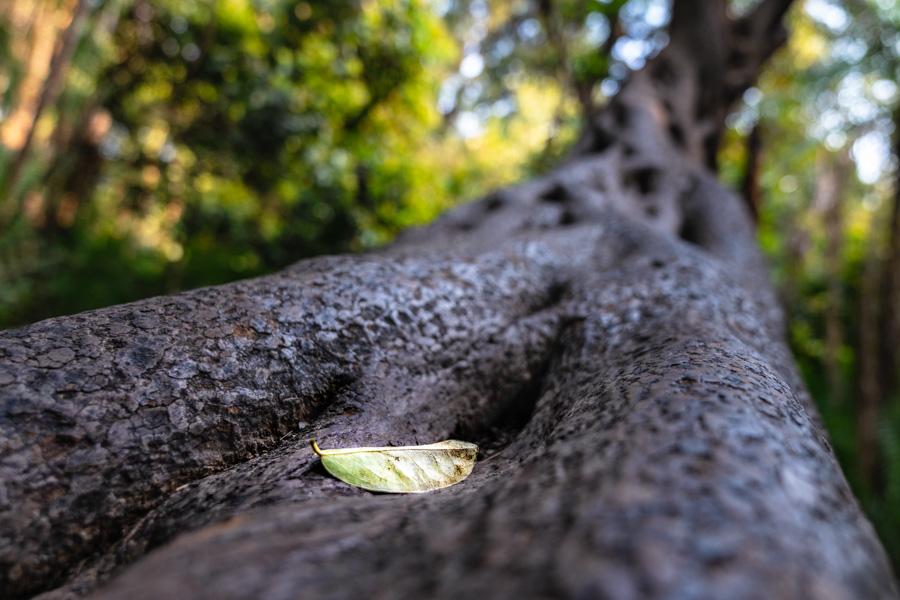 Blatt auf Baumstamm, Victoria Wasserfälle - JELOZI