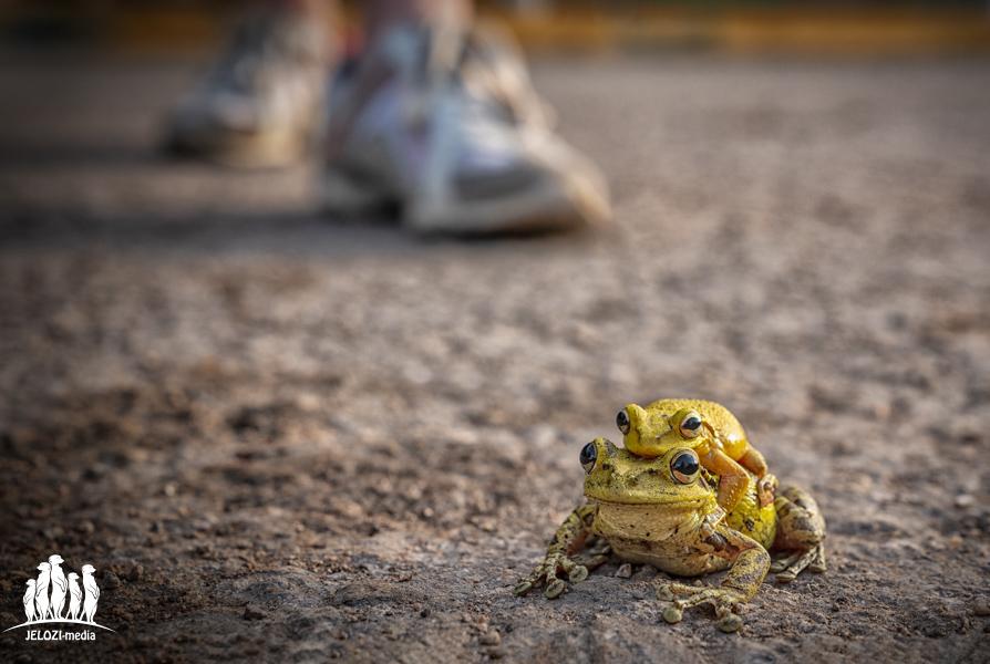 Froschpaarung am Wegesrand - Kuba, Matanzas - JELOZI