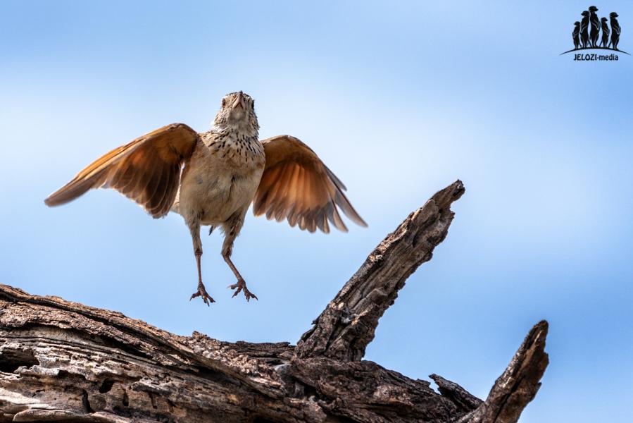 springende Lerche - Afrika/Botswana - JELOZI