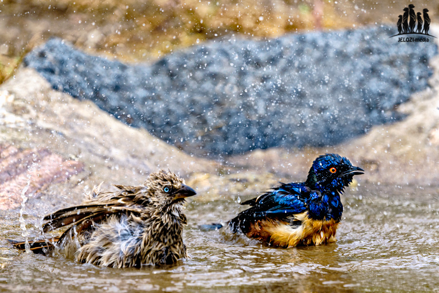 badende Vögel - Afrika/Tansania - JELOZI
