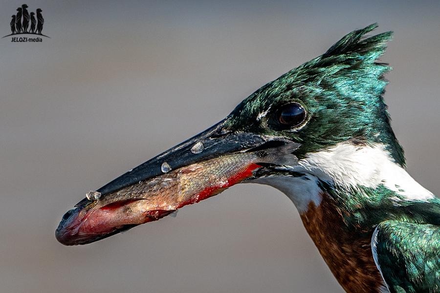 Eisvogel mit Fisch - Brasilien/Pantanal - JELOZI
