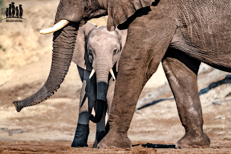 Elefantenjungtier - Afrika/Botswana - JELOZI