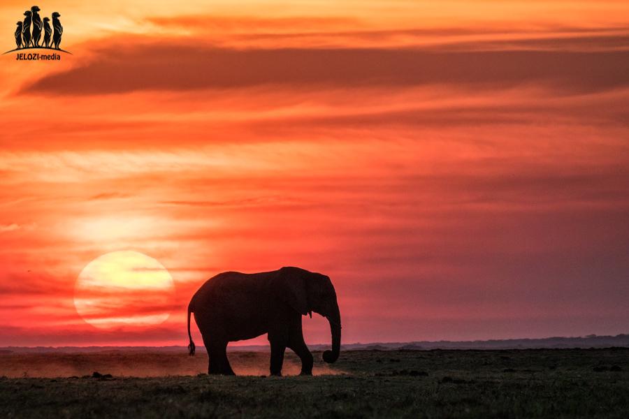 Elefant im Sonnenuntergang - Afrika/Botswana - JELOZI