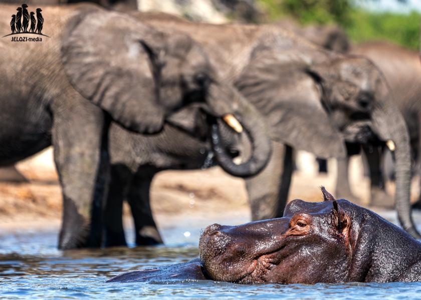 Flusspferd mit Elefanten - Afrika/Botswana - JELOZI