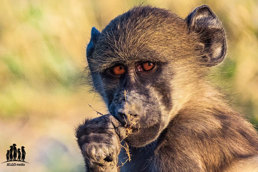 Pavianportrait - Afrika/Botswana - JELOZI