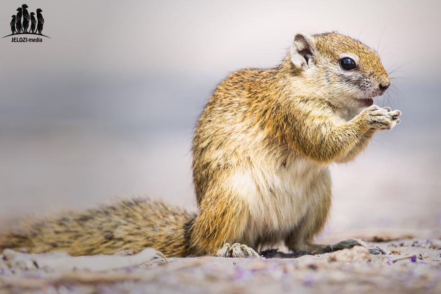 Buschhörnchen - Afrika/Botswana - JELOZI
