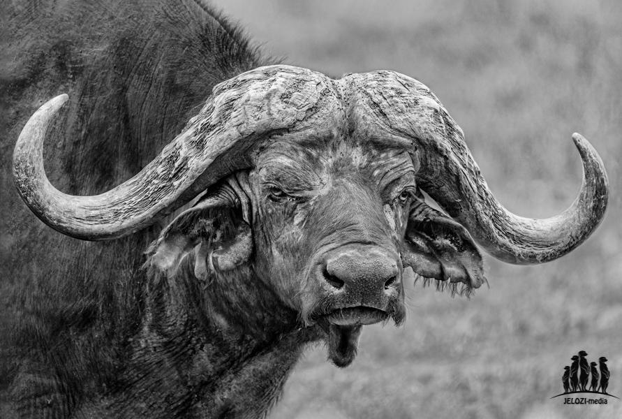 Büffelportrait - Afrika/Tansania - JELOZI