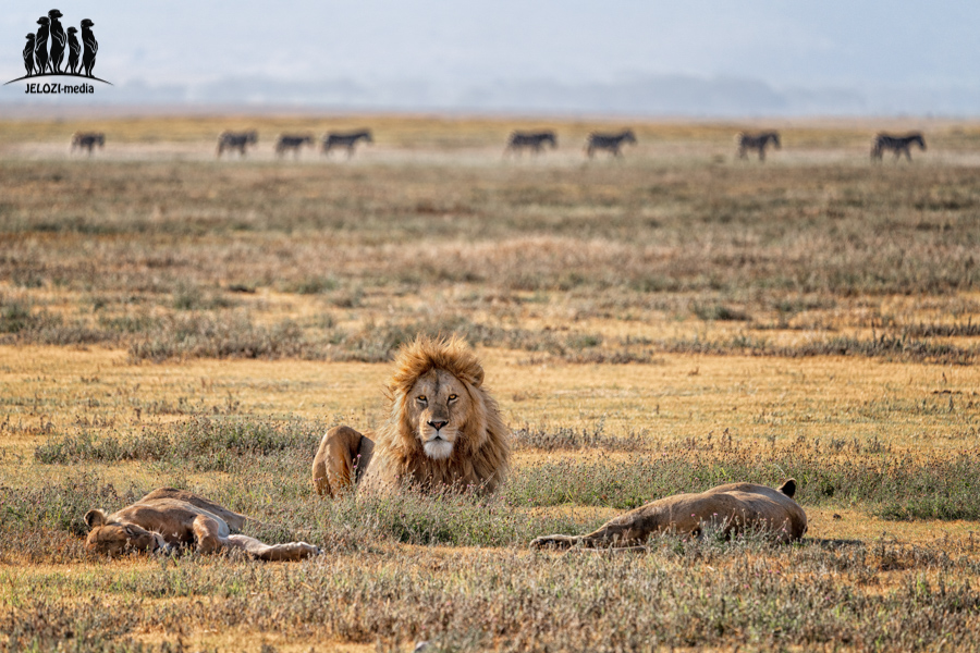 Löwen im optischen Dreieck - Afrika/Tansania - JELOZI