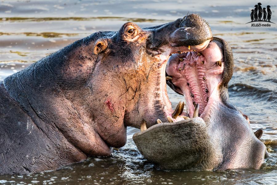 Flusspferdkampf - Afrika/Tansania - JELOZI