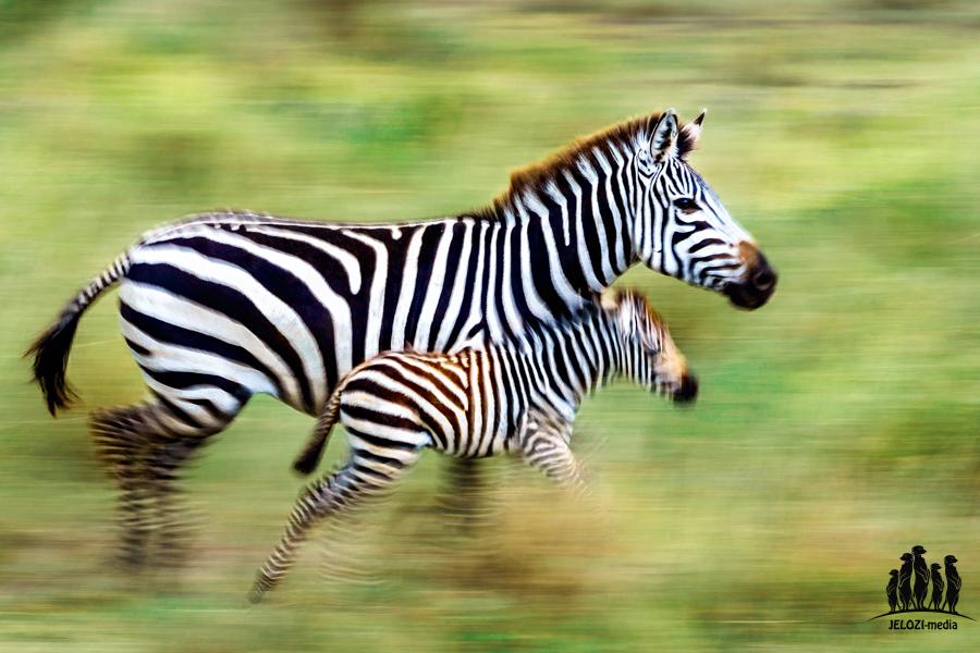 Zebras Mitziehaufnahme - Afrika/Tansania - JELOZI