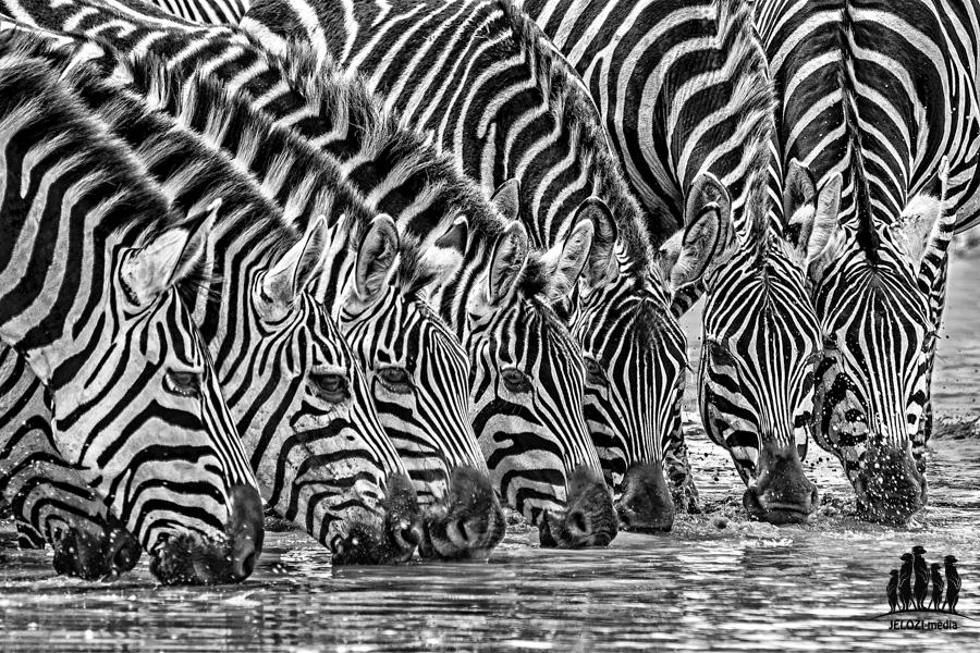 Zebraherde - Afrika/Tansania - JELOZI