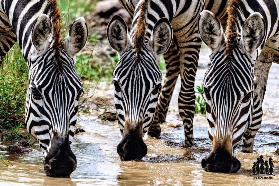 Zebras - Afrika/Tansania - JELOZI