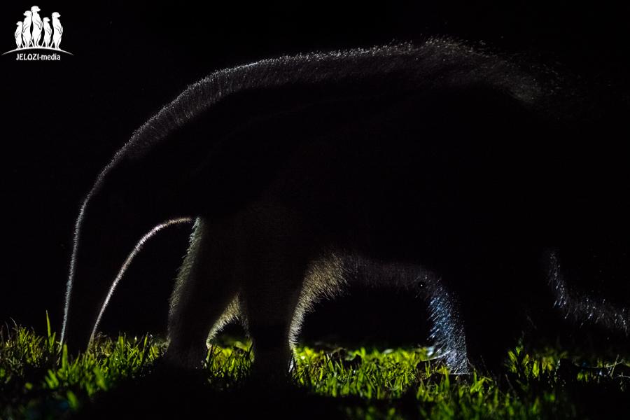 Ameisenbär - Brasilien/Pantanal - JELOZI