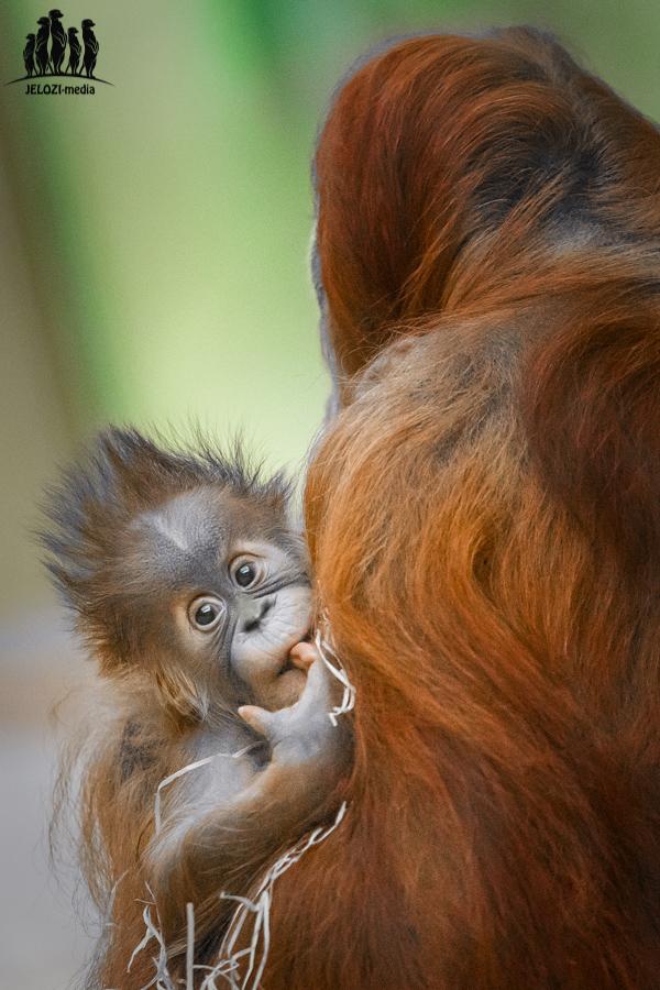 Orang-Utan Jungtier - Münchner Tierpark Hellabrunn - JELOZI