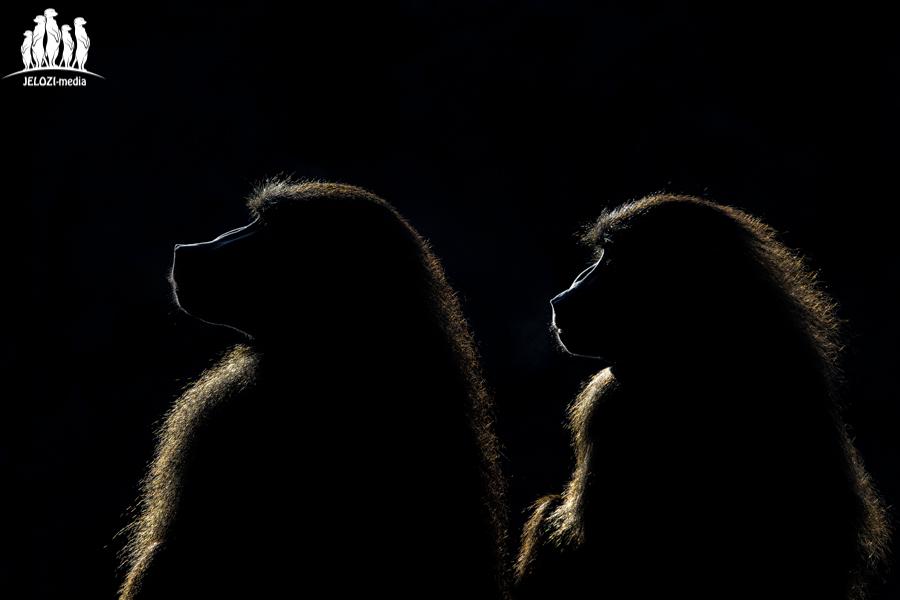 Paviane im Gegenlicht - Tiergarten Nürnberg - JELOZI