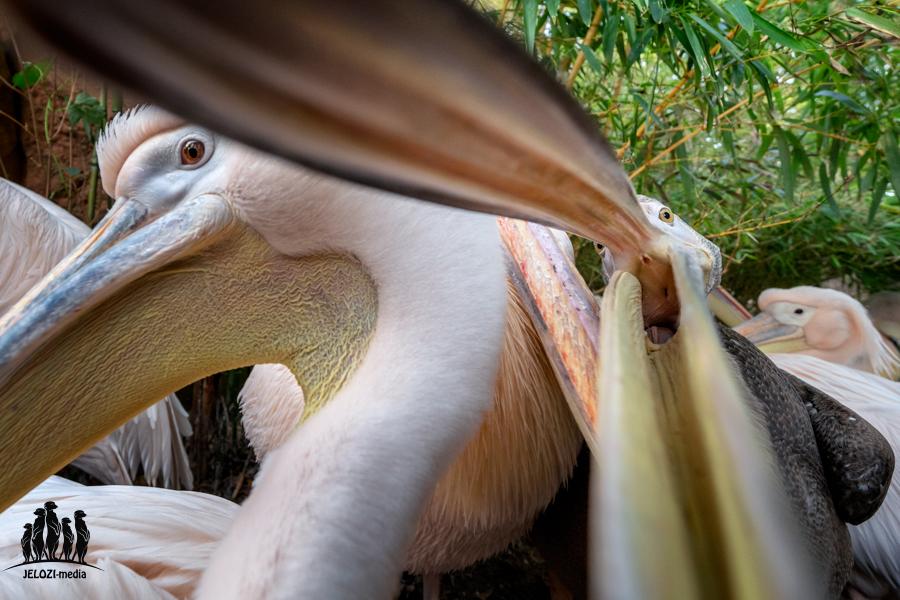 Pelikanschnabel - Zoo Hannover - JELOZI