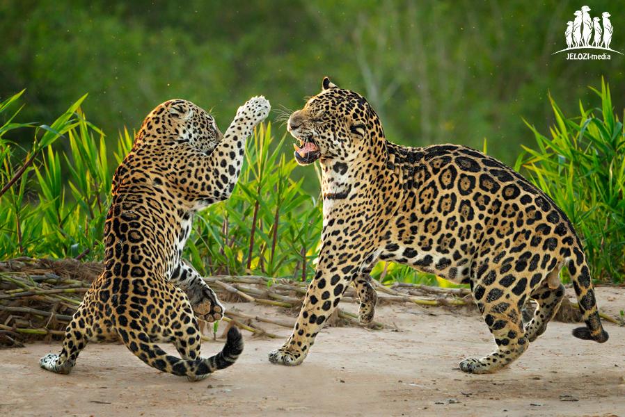 kämpfende Jaguare - Brasilien, Pantanal - JELOZI