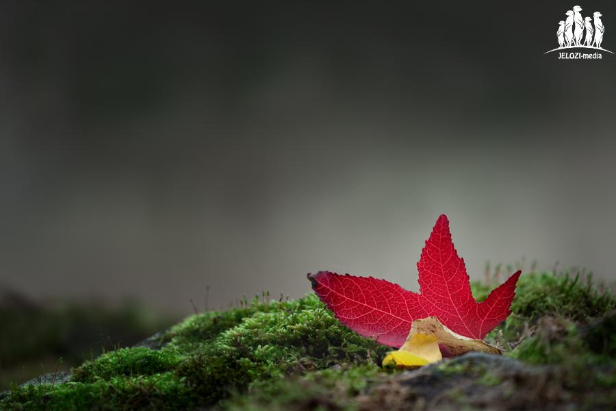 rotes Laubblatt im Herbst - Hannover - JELOZI