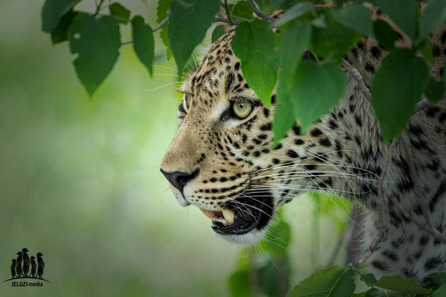 Leopard - Afrika, Botswana - JELOZI