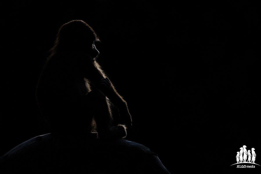Pavian sitzend im Gegenlicht - Tiergarten Nürnberg - JELOZI