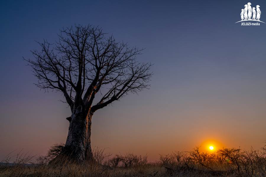Baobab im Sonnenuntergang - Afrika, Simbabwe - JELOZI