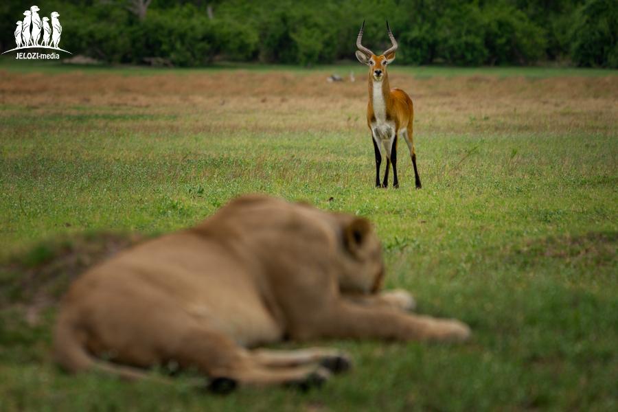 Letschwe-Antilope entdeckt Löwin - Afrika, Botswana - JELOZI