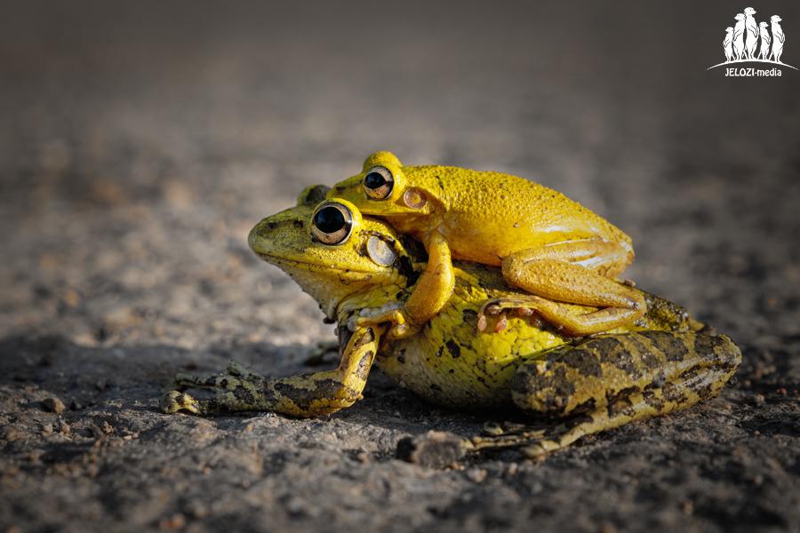 Froschpaarung - Kuba, Matanzas - JELOZI