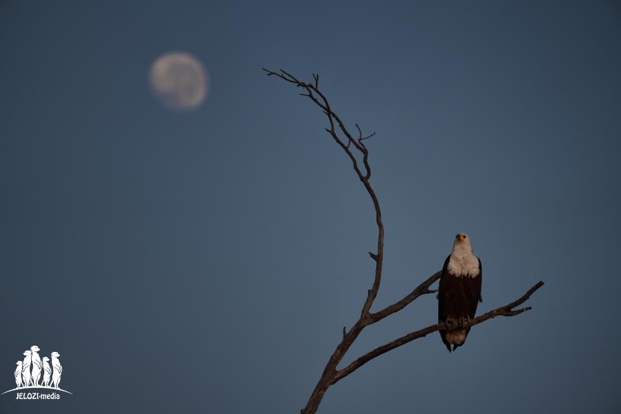 Seeadler mit Mond - Afrika, Simbabwe - JELOZI