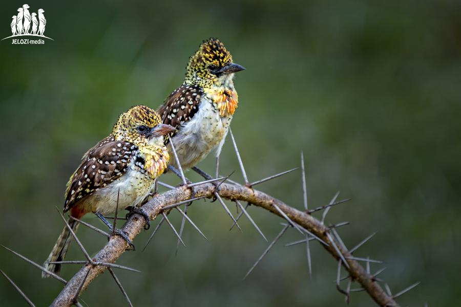 Bartvögel - Afrika, Tansania - JELOZI