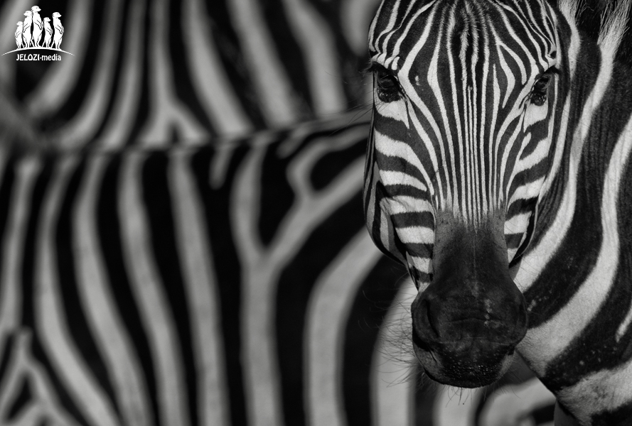 Zebraportrait - Afrika, Tansania - JELOZI