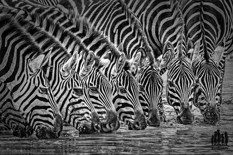 Zebraherde - Afrika, Tansania - JELOZI